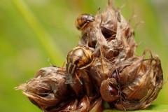 ヒウラカメムシ幼虫